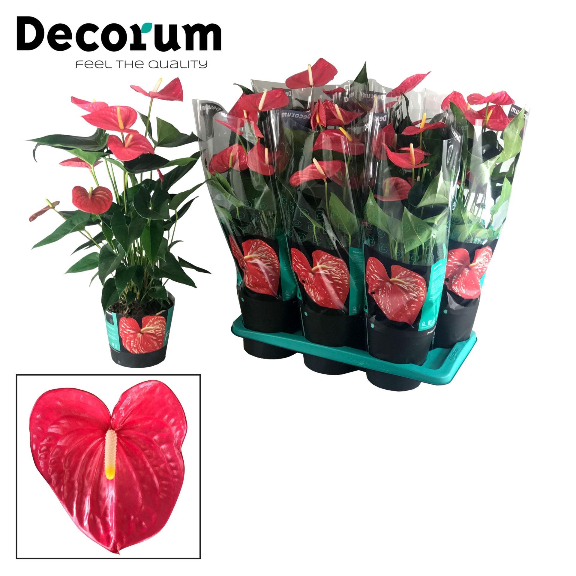 Antoryum Saksı Çiçeği+  Antoryum Bitkisi  + 60 CM 1