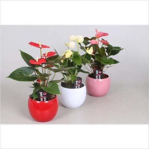 Antoryum - Flamingo Çiçeği - Saksı Hediyeli +35 Cm 1