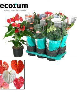Antoryum Saksı Çiçeği+  Antoryum Bitkisi  + 60 CM 3