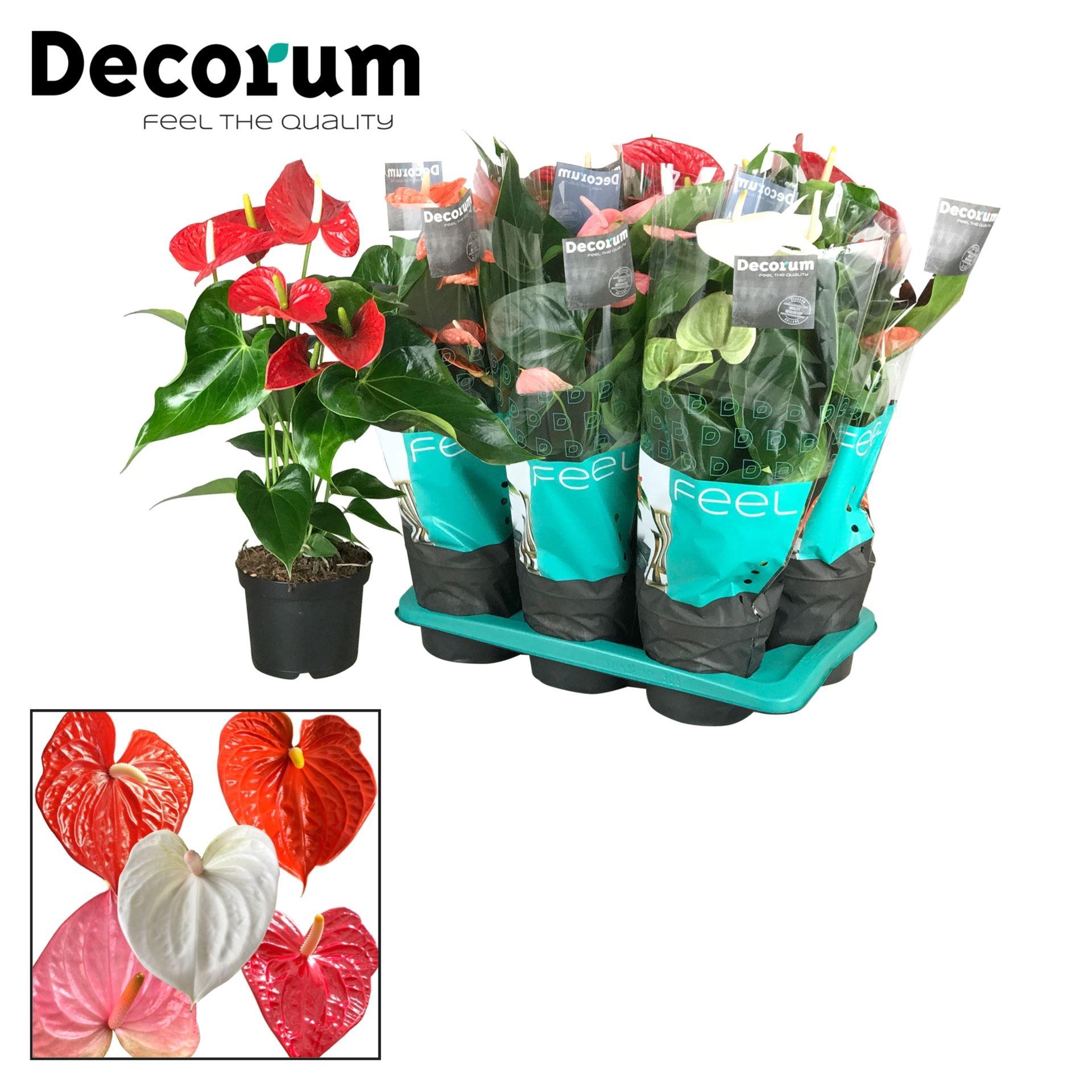 Antoryum Saksı Çiçeği+  Antoryum Bitkisi  + 60 CM 2