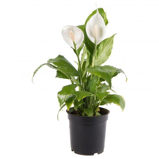 Barış Çiçeği Spathiphyllum -Hava Temizleyen Bitkiler + 60 Cm 1