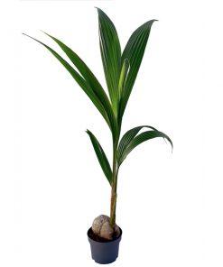Cocos Palmiyesi