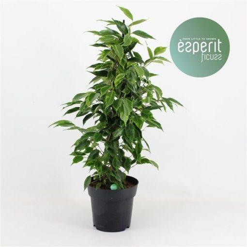 Ficus Bitkisi Bakımı