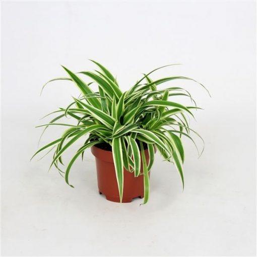 Kurdele Çiçeği - Chlorophytum comosum Minik Boy 1