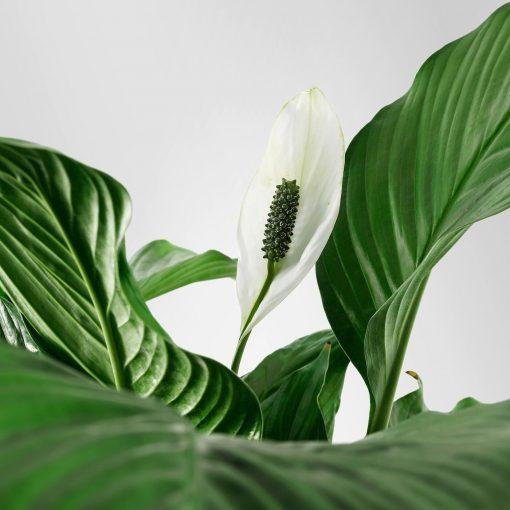 Barış Çiçeği - Spathiphyllum Minik Bebek Boy 30 Cm 1