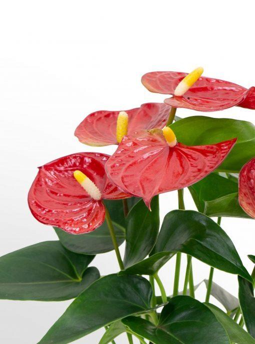 Antoryum Saksı Çiçeği+ Antoryum Bitkisi + 50 CM 1
