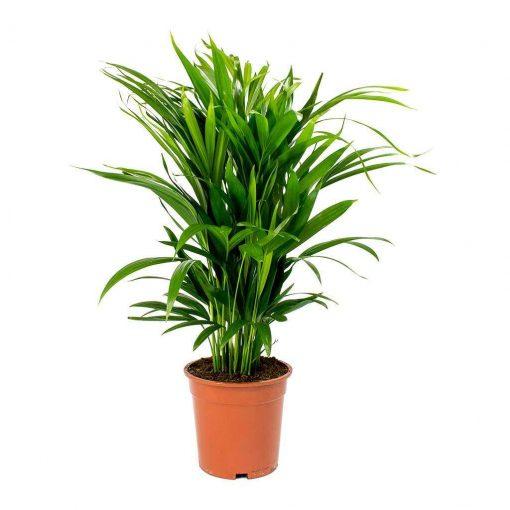 Areka Palmiyesi- Areca Dypsis Lutescens İthal +55 Cm 1
