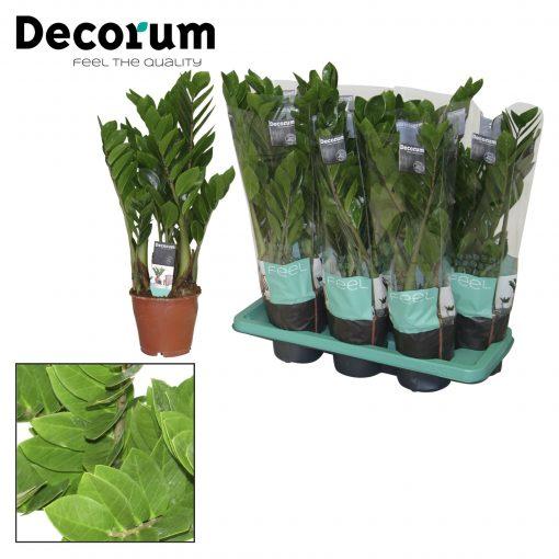 Zamia Bitkisi - Zamioculcas zamiifolia +75 Cm 1