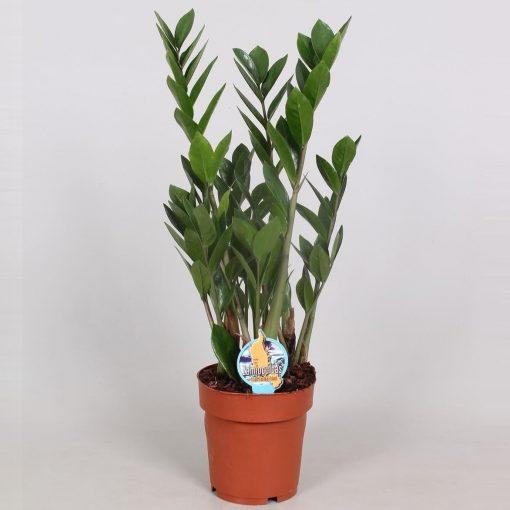 Zamioculcas zamiifolia - Zamia Bitkisi 30-40 Cm 1