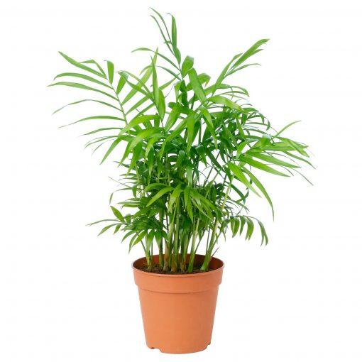 Dağ Palmiyesi Chamaedorea Elegans 30-40 Cm 1