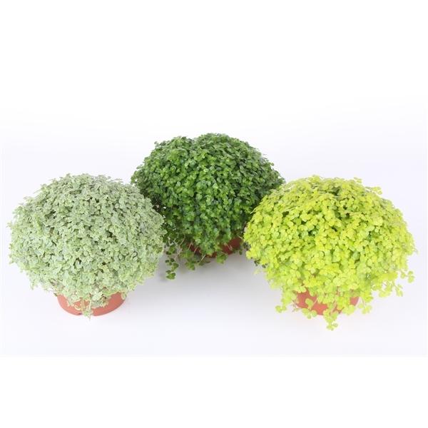 Arap Saçı - Soleirolia soleirollii   Yeşil Renk 1