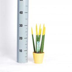 Renkli Paşa Kılıcı Çiçeği