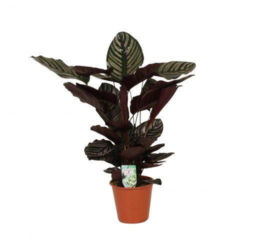 Kalatya - Calathea ornata 'Sanderiana' Dua Çiçeği + 80 Cm 1