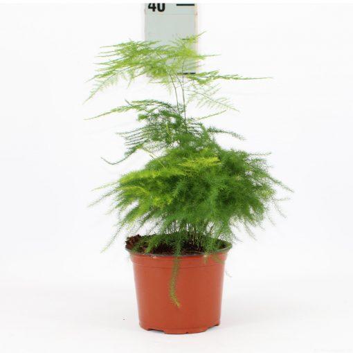 Kuşkonmaz Bitkisi - Asparagus Setaceus +40 Cm 1