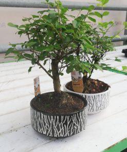 Bonsai - Bonzai Ağacı
