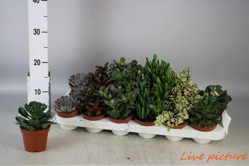 Succulenten mix 8,5 Saksı 18 Adet 1