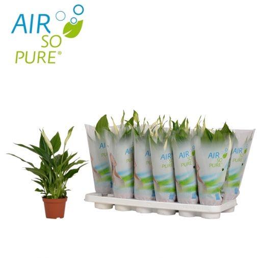 Spathiphyllum chopi 3+ bloem air so pure 18 Adet 1