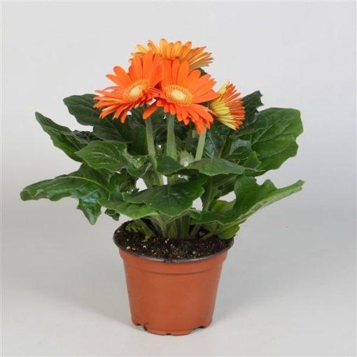 Gerbera colourgame oranje 1