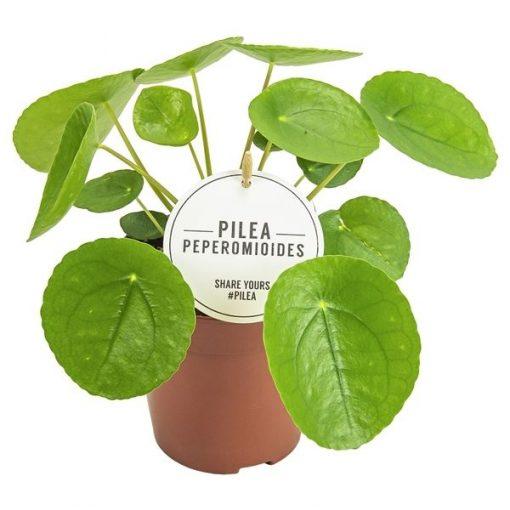 Pilea peperomoides - Çin Para Bitkisi 1