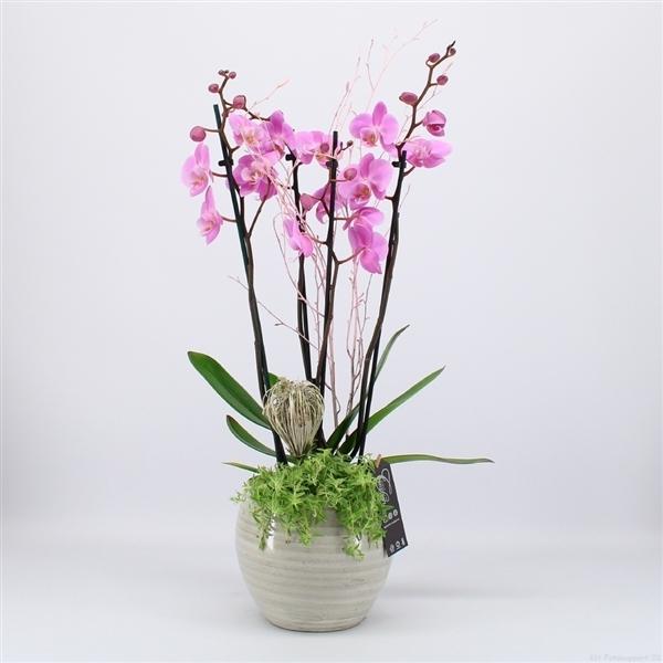 Phal-2005rz phalaenopsis creatie-3-Adet 1