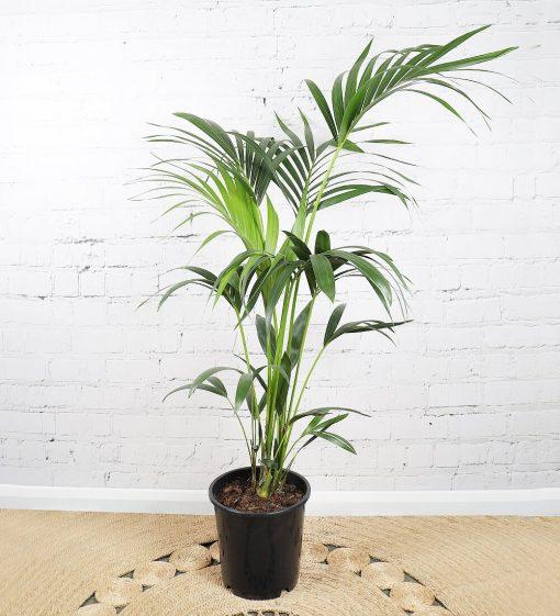 Kentia Palmiyesi-Howea Forsteriana 100 - 120 Cm 1