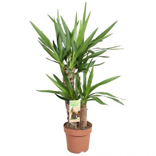 Yuka Bitkisi Yucca Massengena– 2 Gövdeli Salon Çiçekleri 1