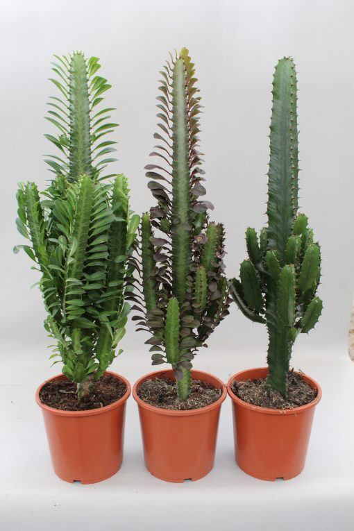 Euphorbia Mix Q17 - 55 Cm 1