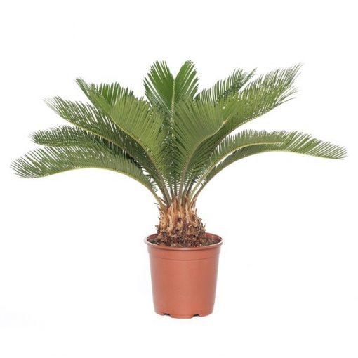 Japon Sago Palmiyesi - Sikas - Cycas Revoluta + 30cm 1