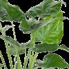 Alocasia cucullata - Dev Fil kulağı Bitkisi 1