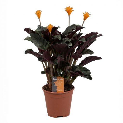 Calathea Crocata Tassmania - Turuncu Çiçekle Kalatya Dua Çiçeği 30 cm 1