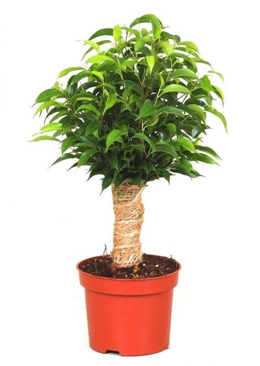 Ficus Benjamin Küçük Boy Natasja +30 Cm 1