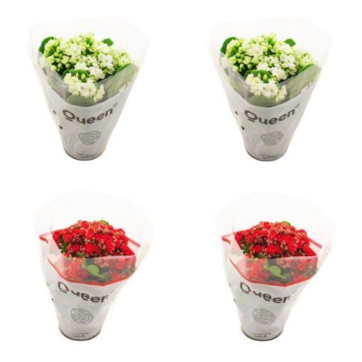 Kalanşo Emel hanım çiçeği 4 Lü Mix Set 1